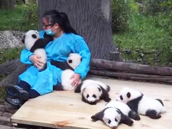 panda cuddler