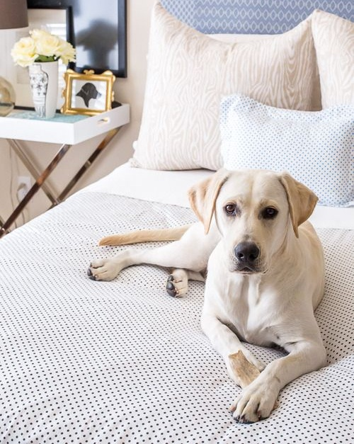 labrador-in-bed